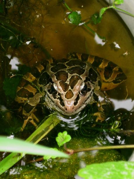 2013summerfrog1