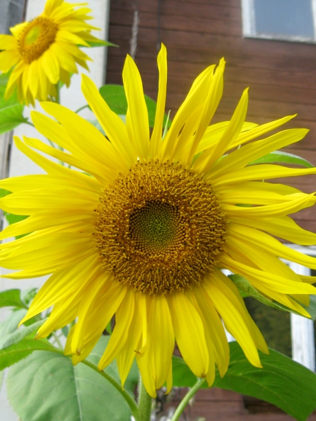 2013summersunflower2