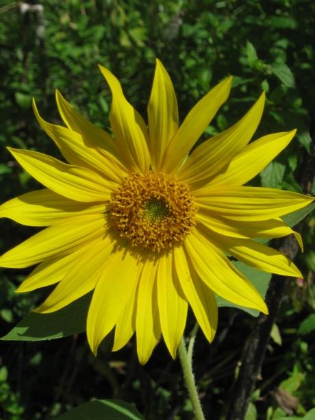 2013summersunflower4