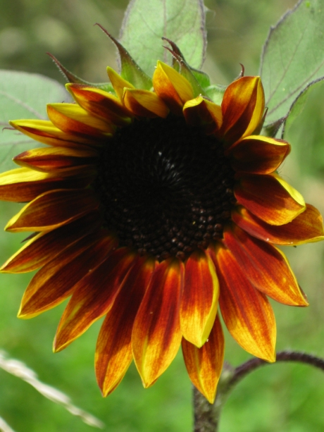 2013summersunflower7