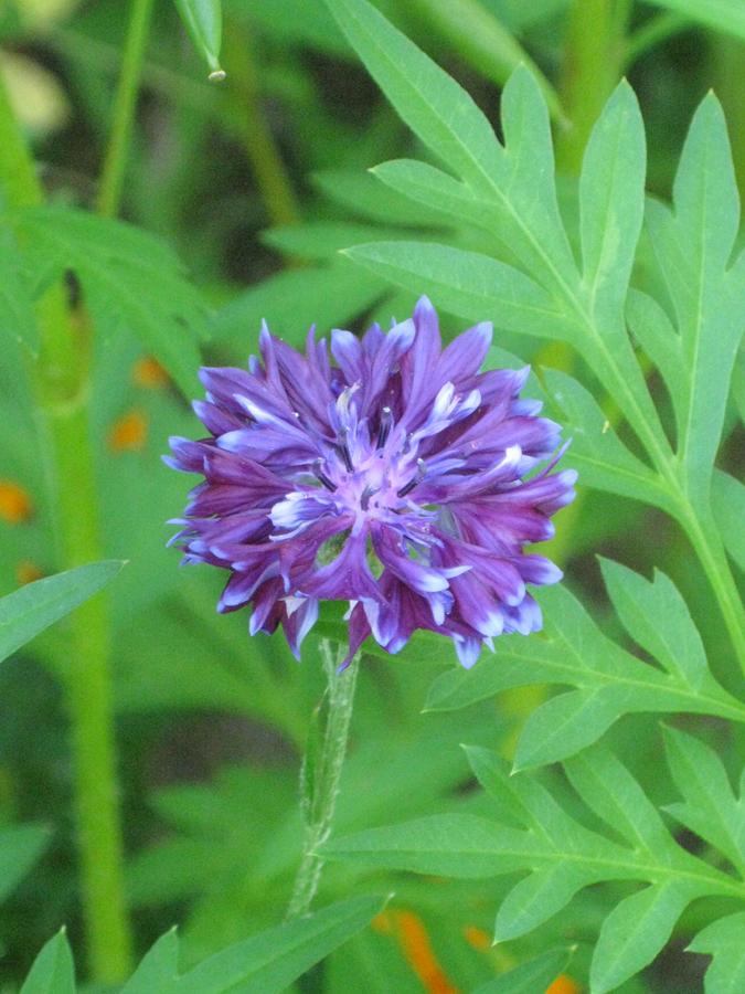 2014midsumflower15