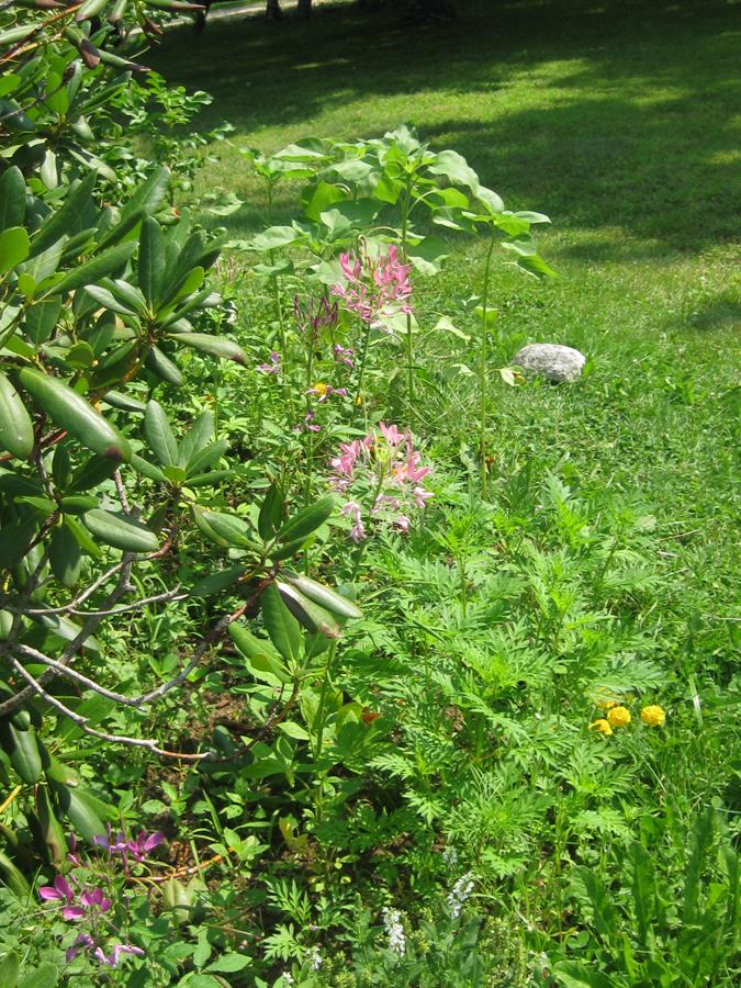 2014midsumflower2
