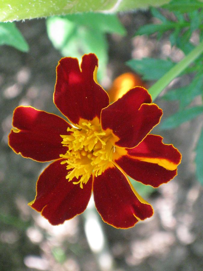 2014midsumflower24