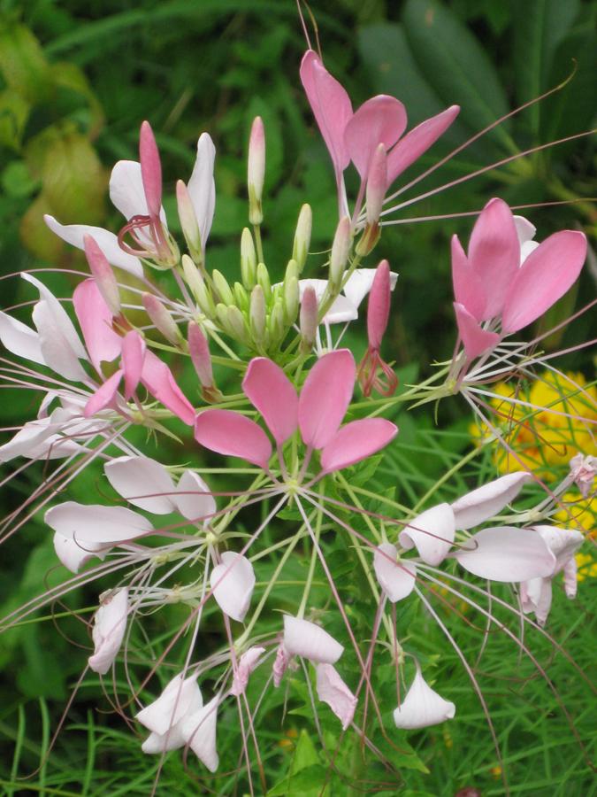 2014midsumflower9