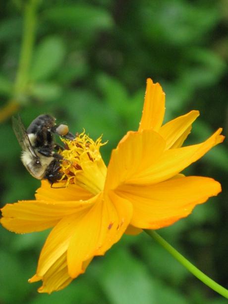 2014midsumflowerbee1