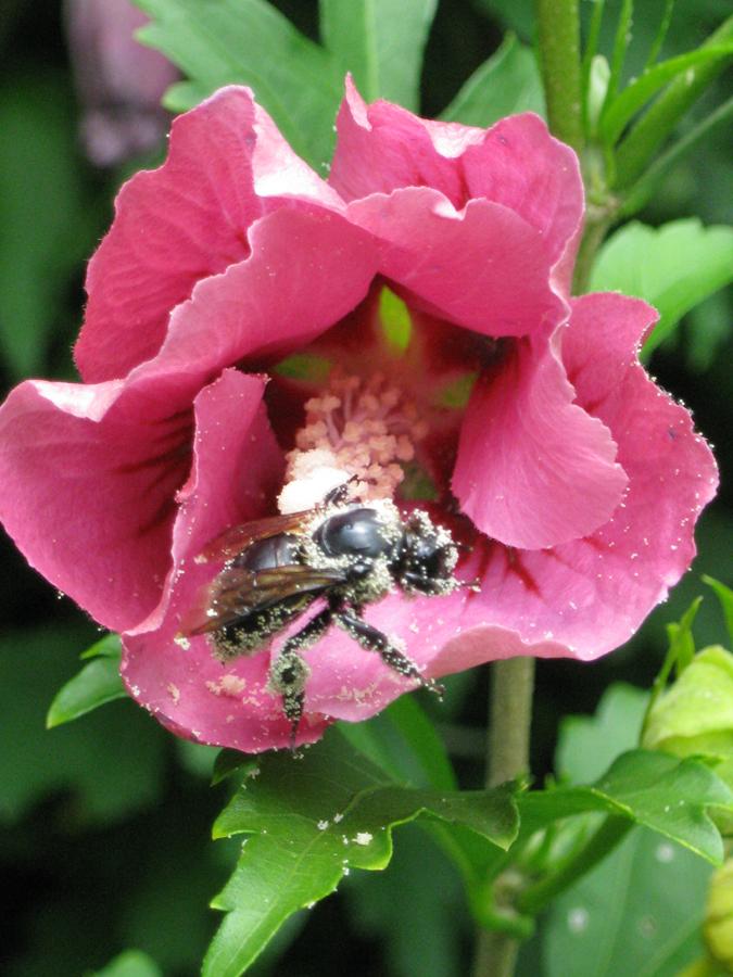 2014midsumflowerbee2