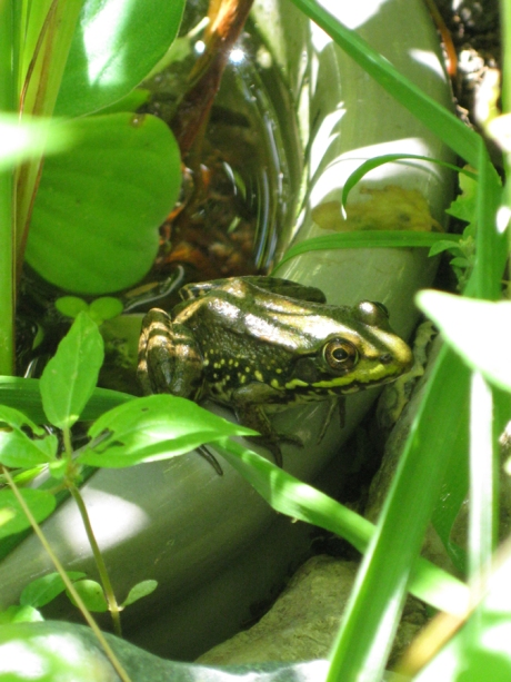 2014midsumfrog4