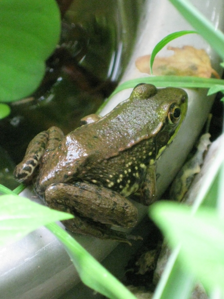 2014midsumfrog5