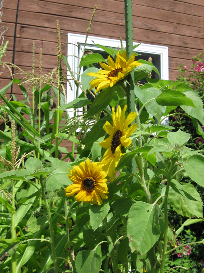 2014midsumsunflower1