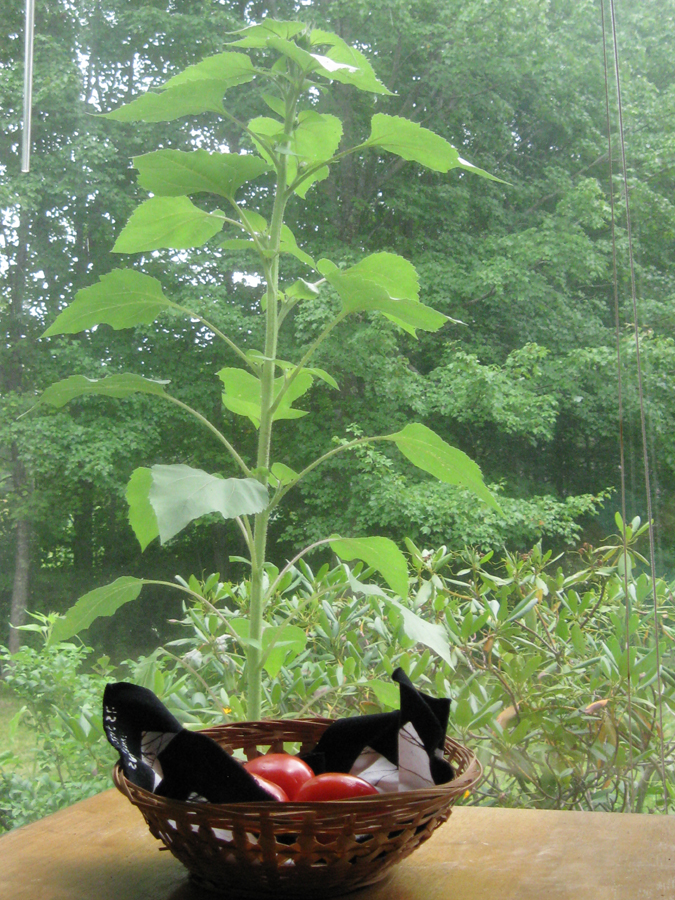 2014midsumsunflowerimside