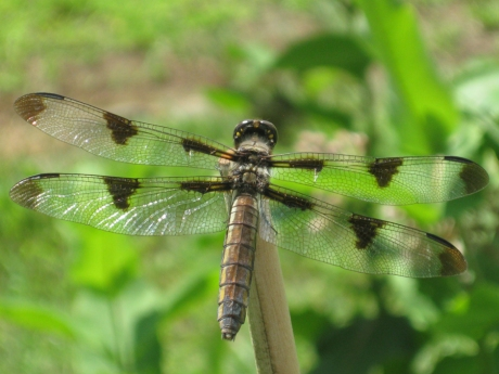 2014springdragonfly8