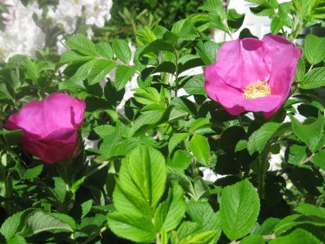 2014springflowersbeachrose1
