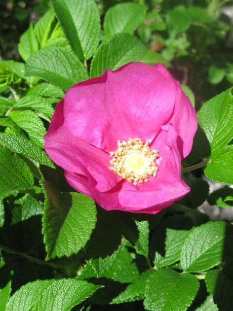 2014springflowersbeachrose2
