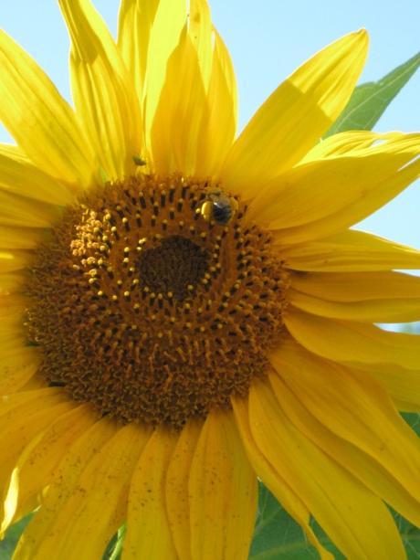 2014summersunflowerbee