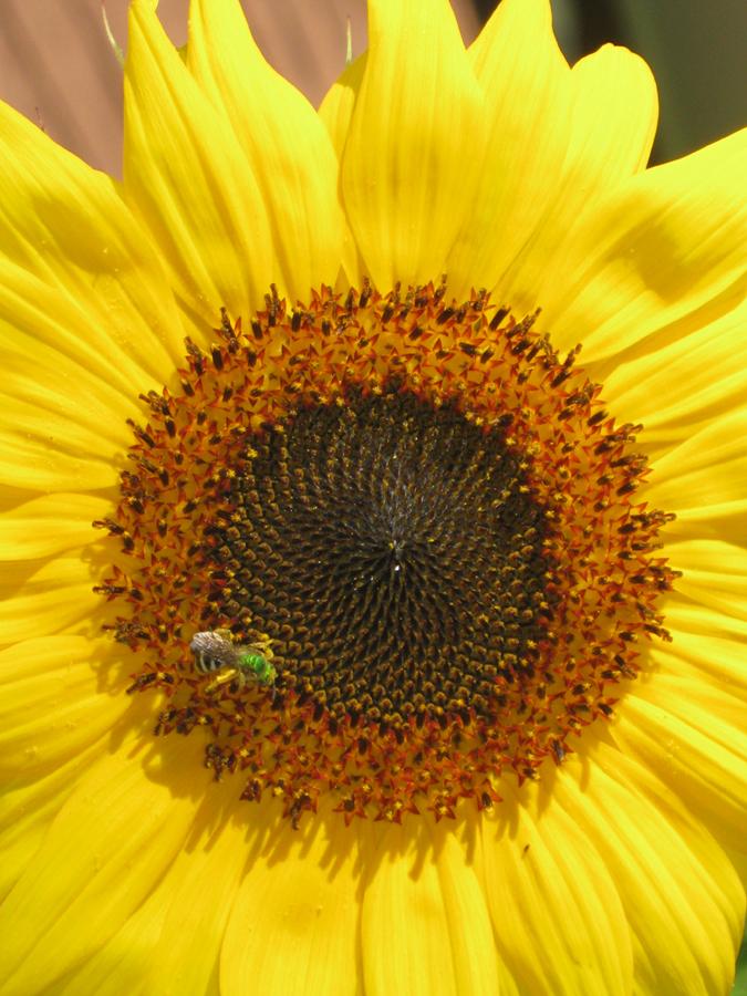 2014summersunflowerbee3