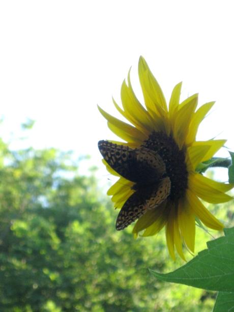 2014summersunflowerbutterfly2