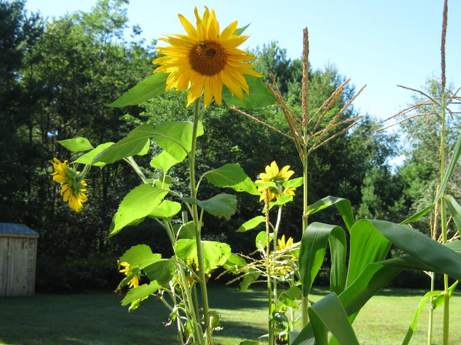 2014summersunflowers