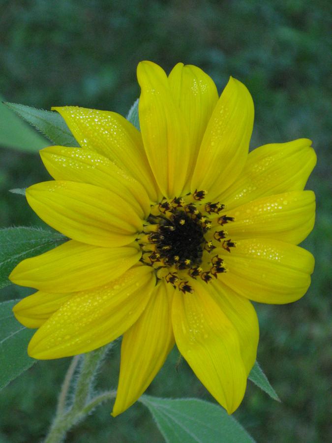 2014summersunflowers2