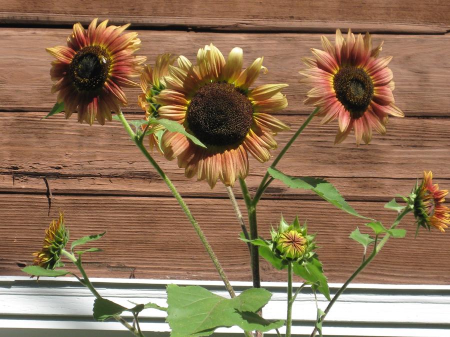 2014summersunflowers3