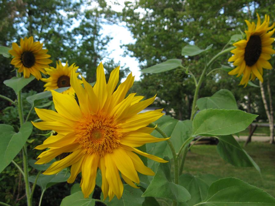 2014summersunflowers6