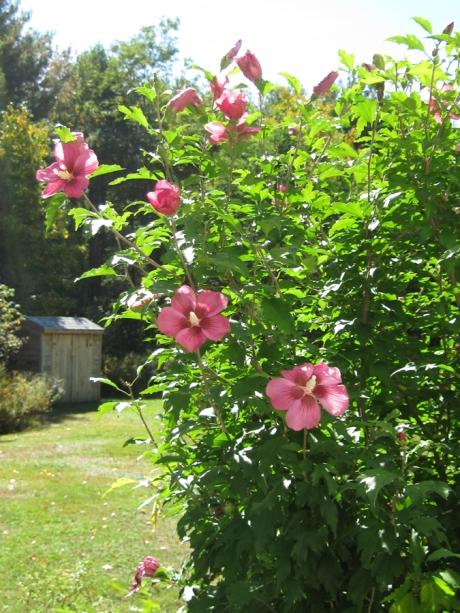 2014fallflowerpinkbush1