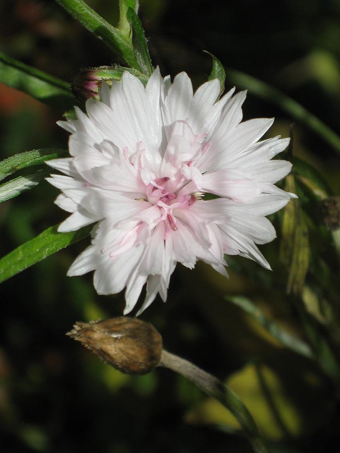 2014fallflowerwhite1