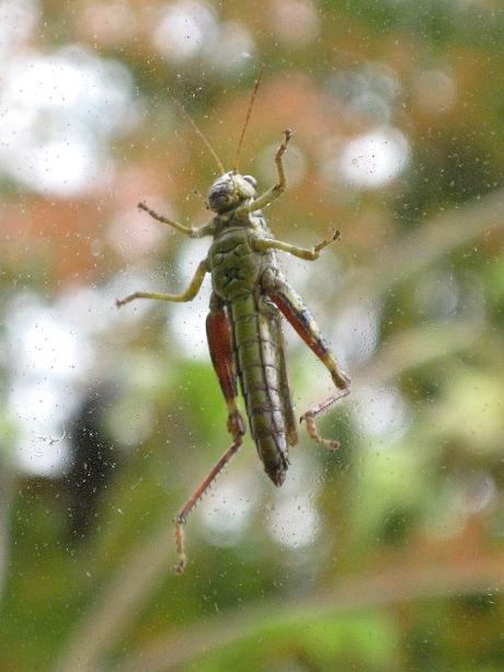 2014fallgrasshopper