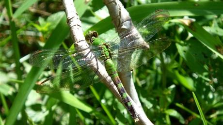 2015summerdragonfly