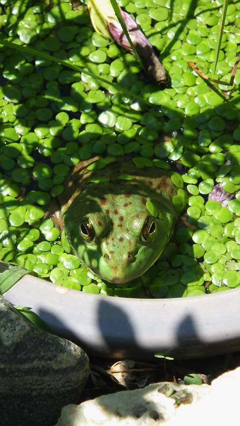 2015summerfrog11