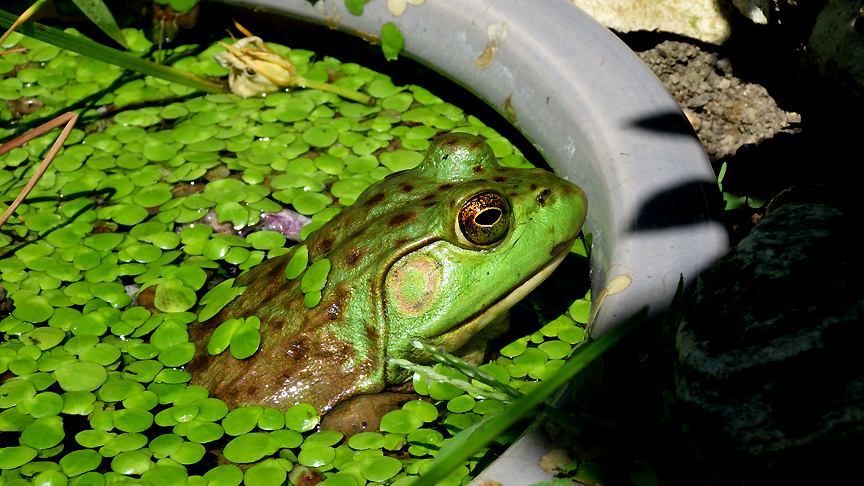 2015summerfrog14