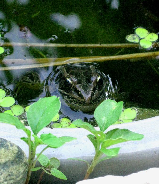 2015summerfrog1a