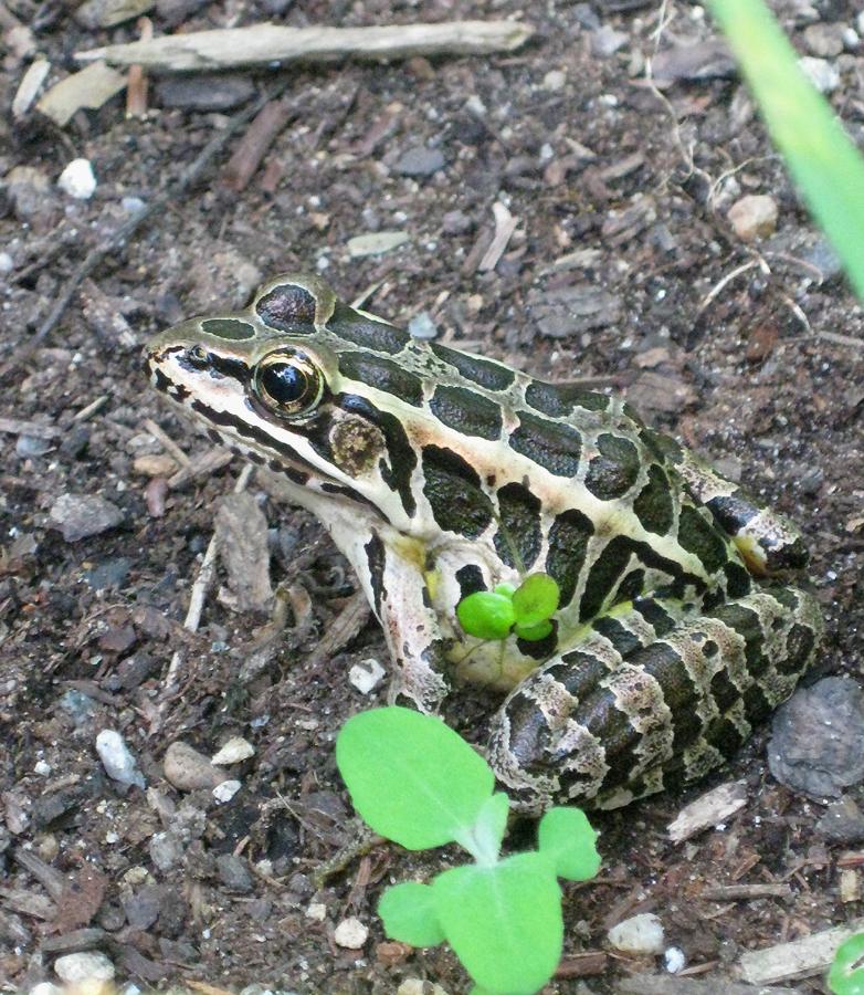 2015summerfrog4