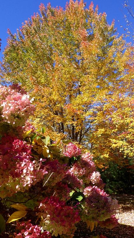 2015fallhydrangeatree