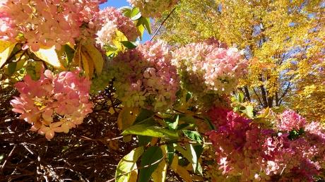 2015fallhydrangeatree2