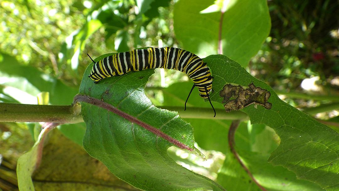 2017summercatapillar